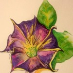 Morning Glory, pencil, watercolor on paper